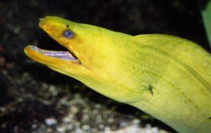 Moreia-verde