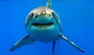 Tubarão Branco na Ilha de Guadalupe
